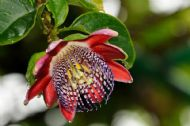 Fragrant Granadilla - Passiflora alata 5 Seeds -Beautiful,fragrant flowers